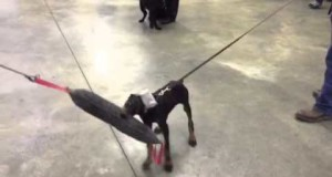 Doberman-Pup-Fayth-Early-Protection-Development-Training-For-Sale